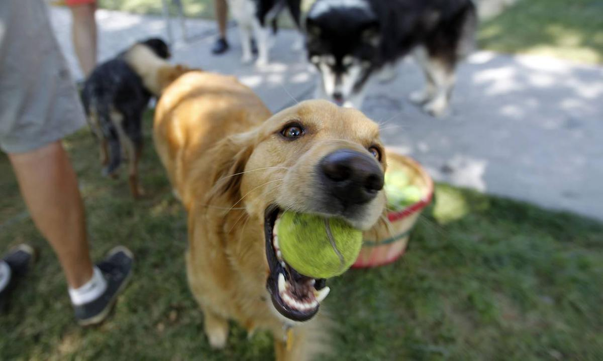 Good Dog Holding Tennis Ball in Its Mouth